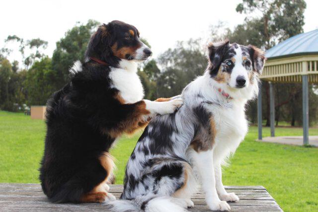 Koira hieroo toisen koiran selkää